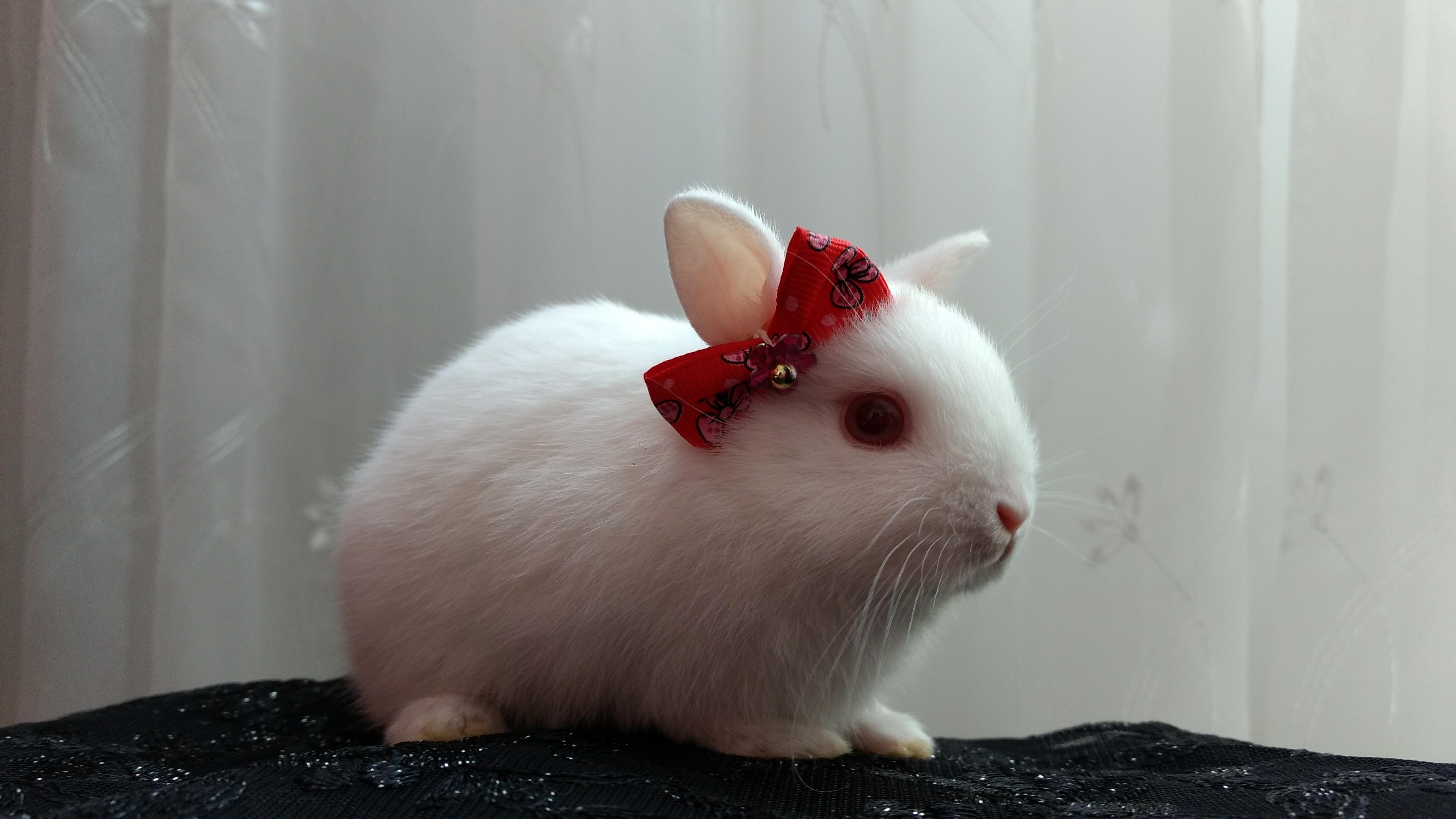 coelho an u00e3o - o menor coelho do mundo