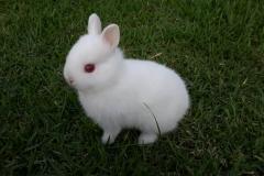 o menor coelho do mundo