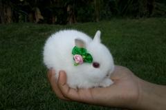 menor raça de coelho