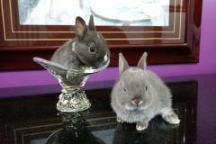 mini coelho anão