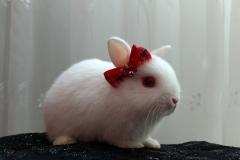 mini coelho netheland dwarf