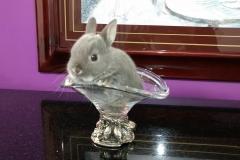 mini-coelho-nethelandia