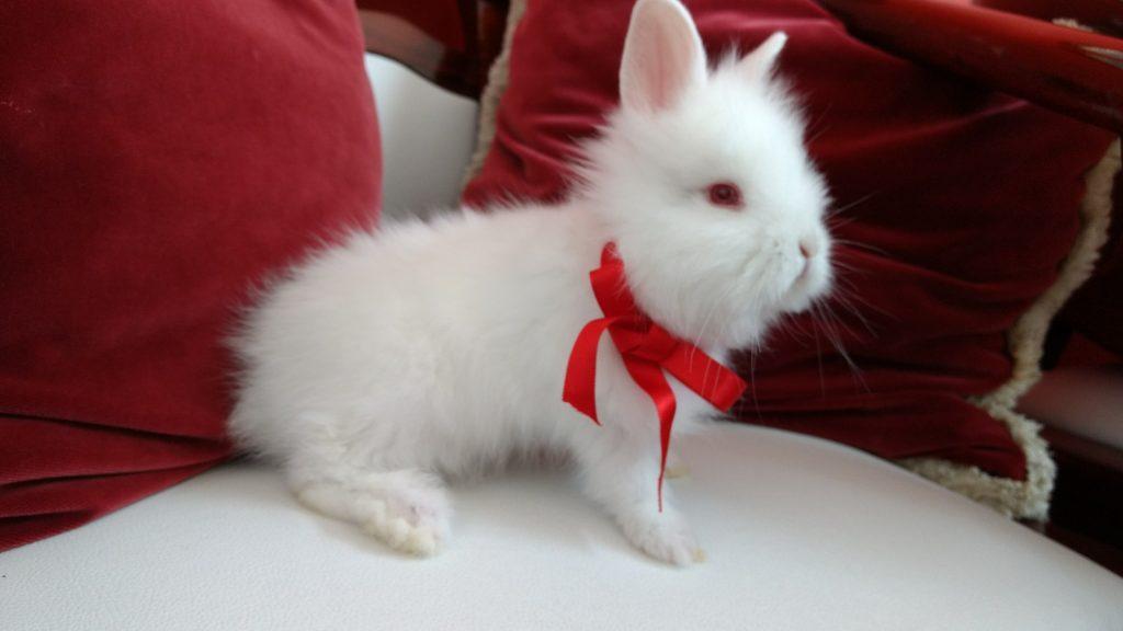 Porque ter um mini coelho
