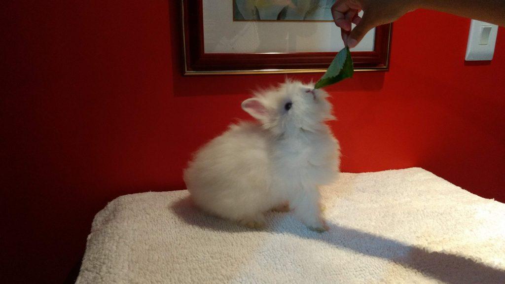 o que coelho come