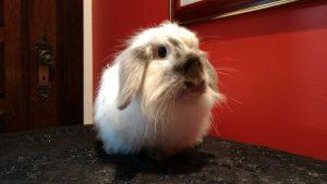 Quer dar um mini coelho no Dia das Crianças? Confira nossas dicas... 5