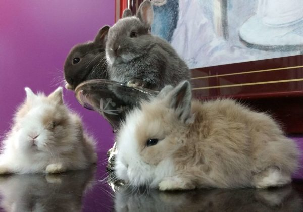 manual do cuidado mini coelho